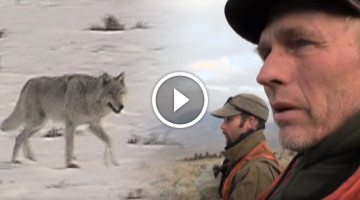 Descendants of the first settlers reveal the truth about returning wolves to Yellowstone