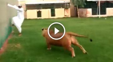 Lion jumps on man inside fence enclosure