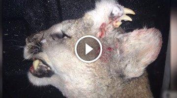 Mountain lion deformity baffles hunter, officials confirm NOT a hoax