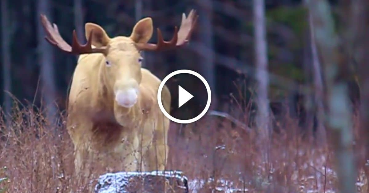 Moose Gets Run Over By Car