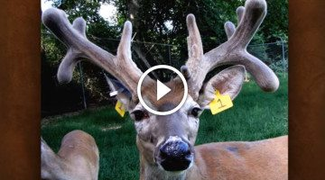 How fast do antlers grow? This buck will surprise you