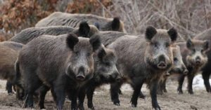 Radioactive boars reproducing faster than they can be culled and buried in Japan