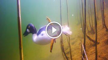Amazing underwater video reveals how ducks sabotage fishermen