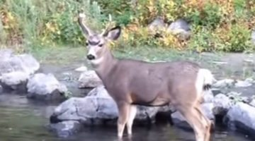 Friendly deer delivers doughnut on antlers right to surprised flyfisher