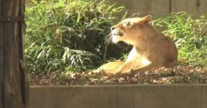 When a deer broke into the Smithsonian Park National Zoo and jumped into the lion's den, it didn't end well…