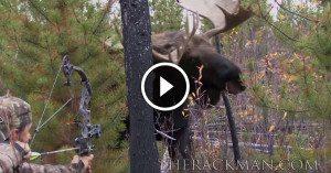 GIGANTIC bull moose locks eyes with hunter drawing his bow