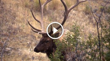 He was lucky his camera was rolling — Man catches Elk doing something no one ever witnesses!