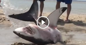 Beach-Goers found the ocean's greatest predator lying on the beach, what they did next to help it is incredible!