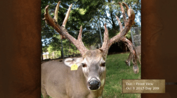 How fast do antlers grow? This buck will surprise you!