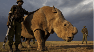 Northern White Rhino On Verge of Extinction: Only 1 Male Left Worldwide