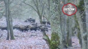 Video: Massive Herd of Wild Hogs Trample Through Forest