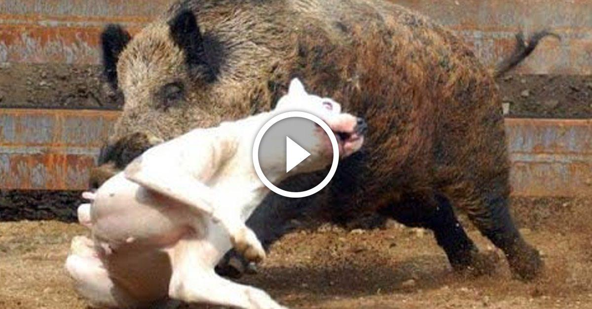 Wild Boar Attacks Human Hunting dogs save man ...
