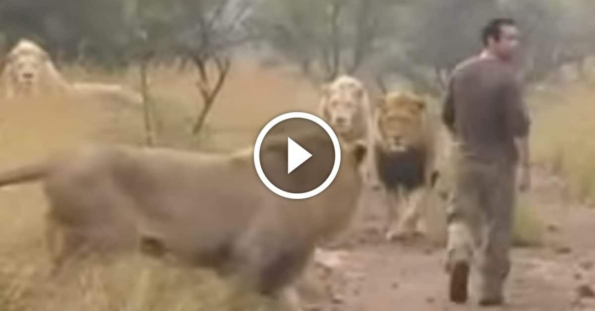 Man has a close relationship with several adult lions getzone i cant believe he is so confident when he approaches these lions watch as he walks straight up to his friends and greets them with a big hug m4hsunfo