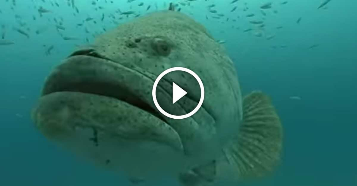 Naturalist Jonathan Bird Dives Into The World Of Goliath Groupers