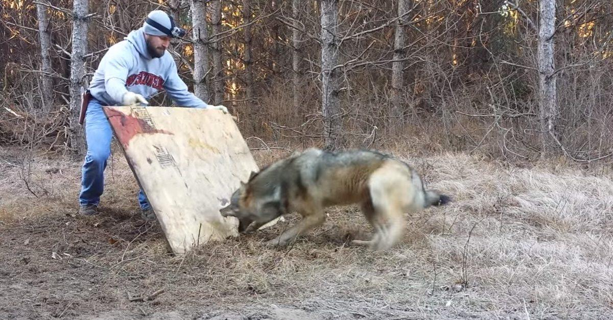 man protects himself with plywood after catching timberwolf getzone