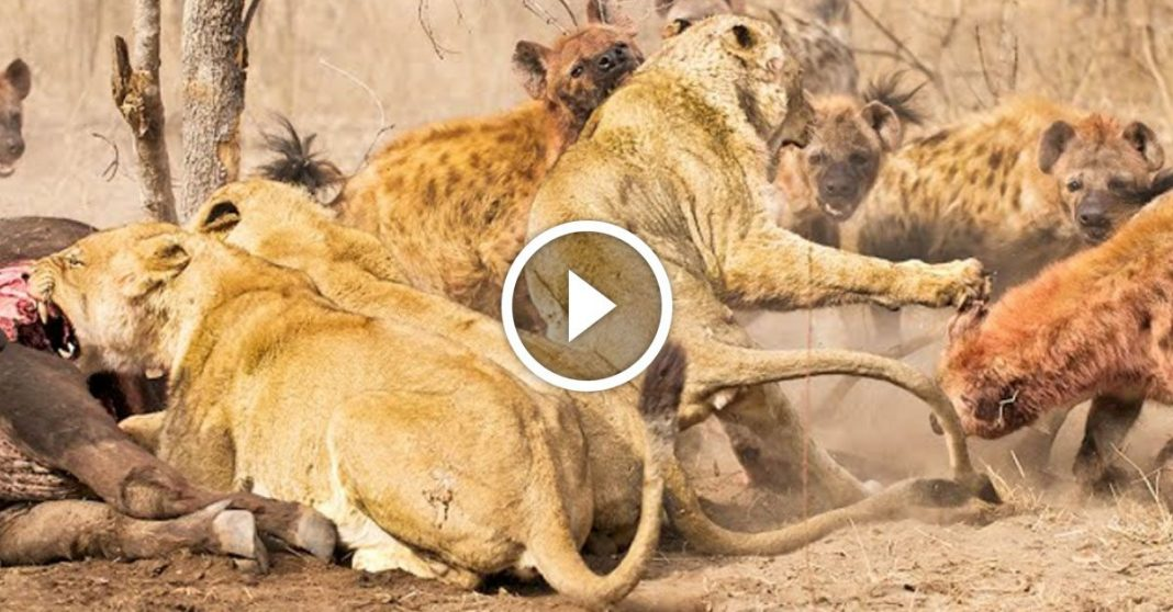 Big Cats Can hyenas beat lions  Quora  A place to