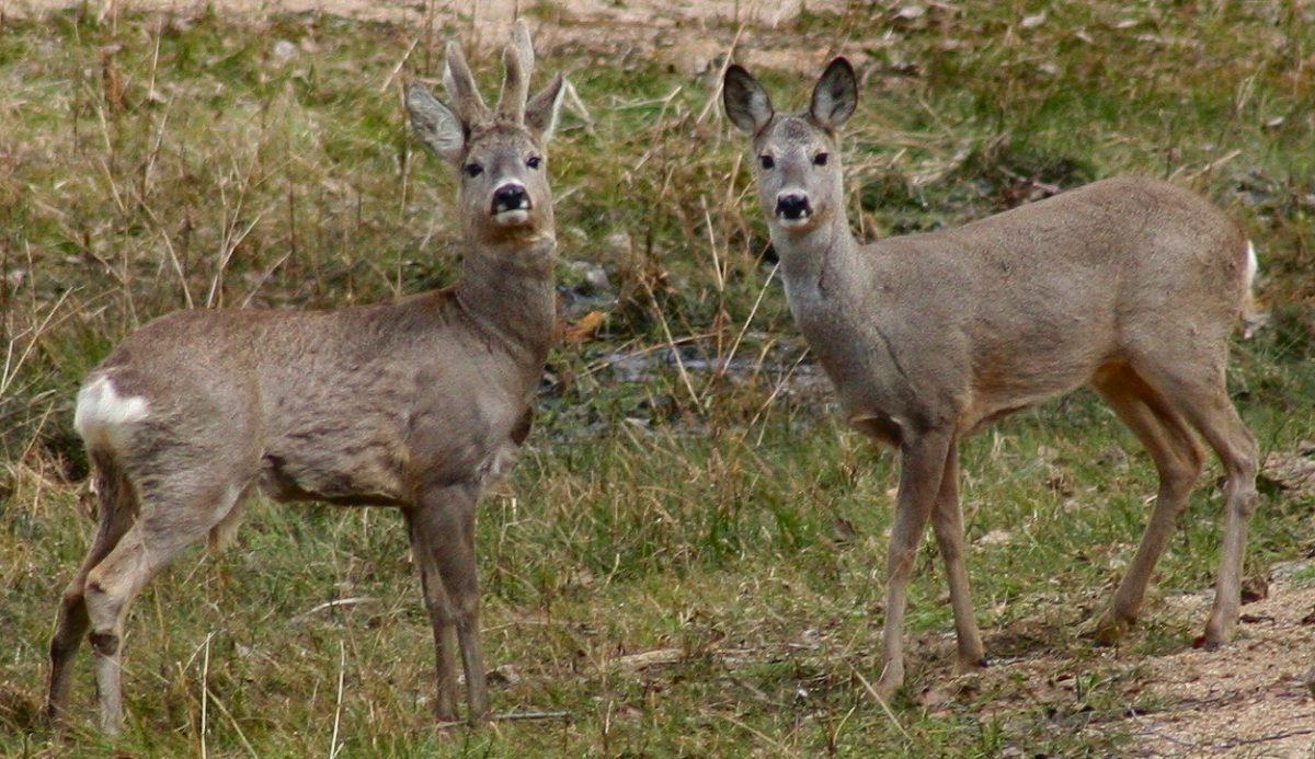 deer hunting, deer, hemorrhagic disease, hd