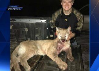 mountain lion, hunting