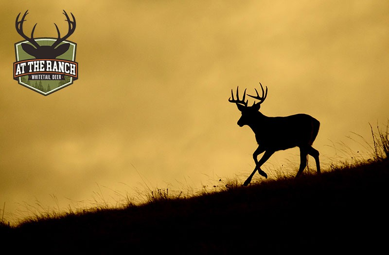 At the Ranch - Whitetail