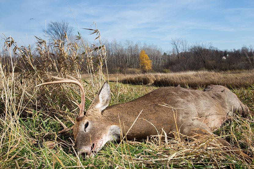 recovering deer