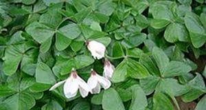 Surviving the Wilderness: 19 Common Edible Plants Oxalis_griffithii1