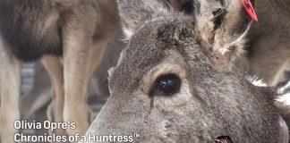 Chronicles-of-a-Huntress-Mule-Deer-hunting
