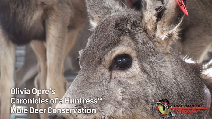 Chronicles-of-a-Huntress-Mule-Deer-hunting