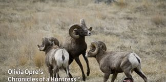 Chronicles-of-a-Huntress-Wild-Sheep-Conservation