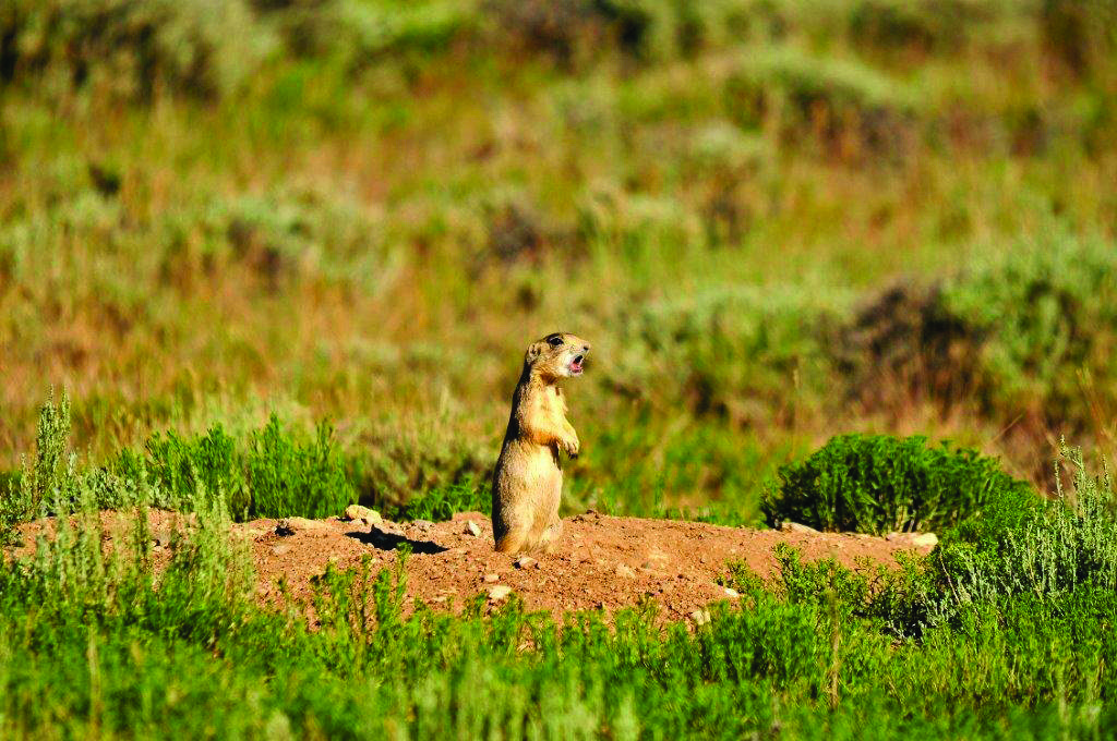 Prairie Dog Hunting in Wyoming