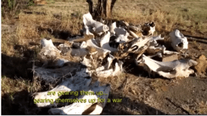 rhino skeletons and other remains