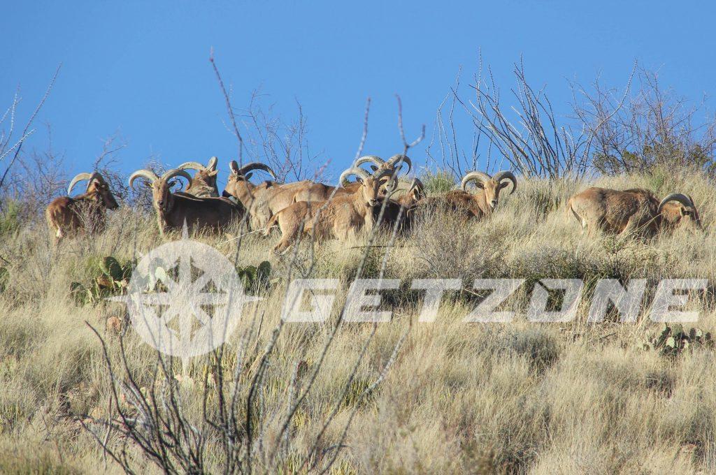 aoudad, deers, deer hunting, aoudad deer hunting, aoudad hunting tips,