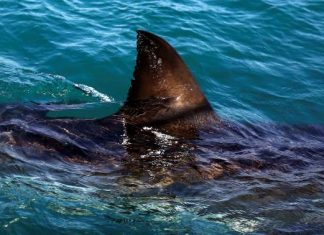 great white shark, great white shark jumps into boat, great white shark leaps into boat,great white shark launches into boat, great white shark australian fisherman, great white shark boat,