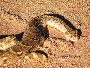 A deadly African puff adder warms itself on a game trail