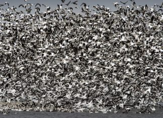 snow geese die by the thousands