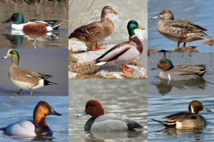 waterfowl-ducks